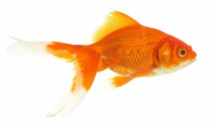 A goldfish — what Mycroft Holmes calls ordinary people — which is a clue to Sherlock Season 3, Episode 3.